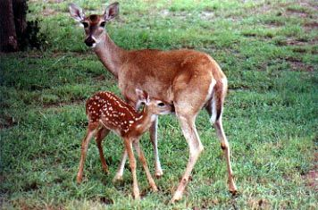 Mother and Baby Deer | Cute Adorable Snuggly Lovable ...