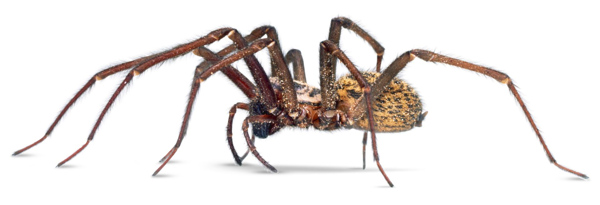 House Spiders Em 2020