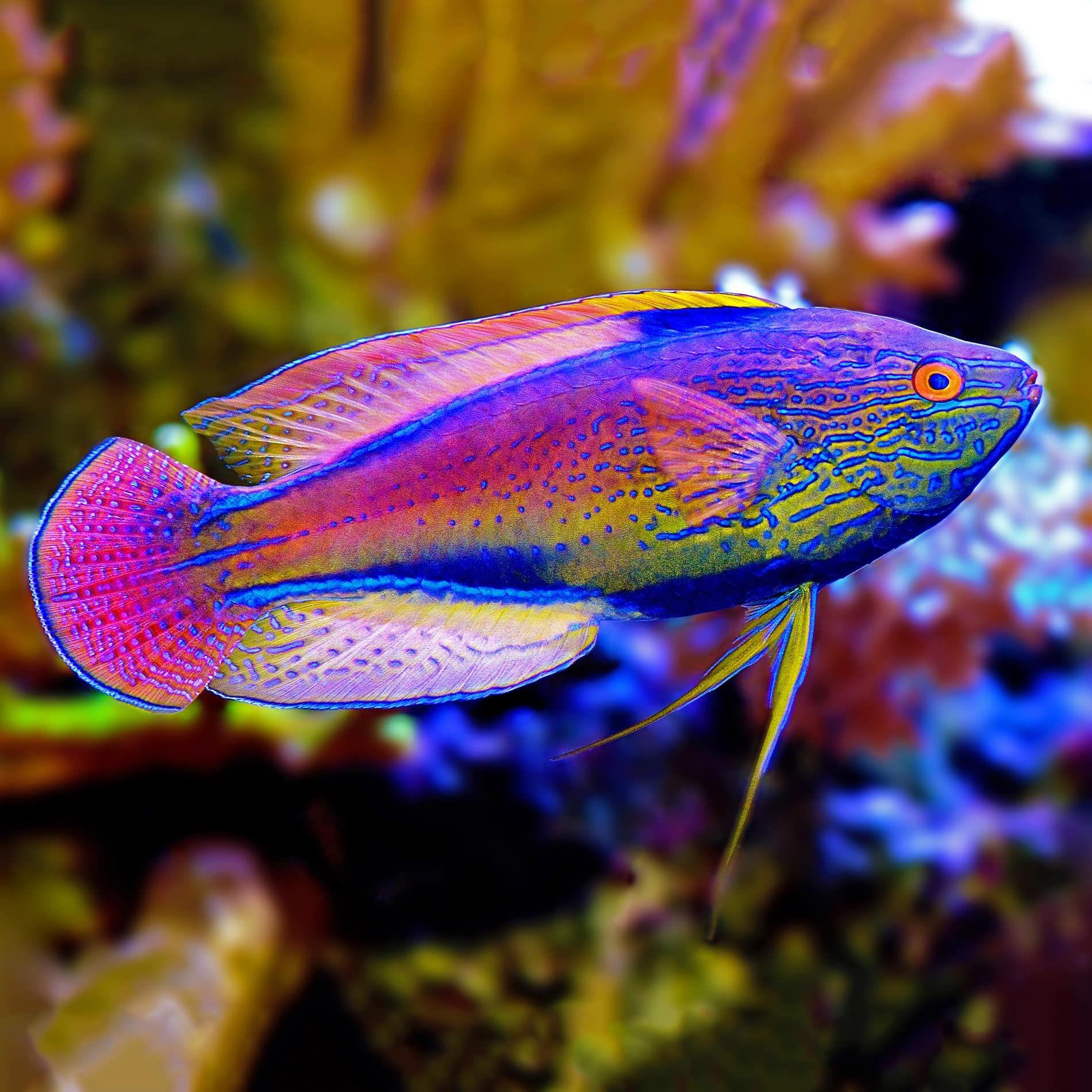 Pin On Wrasse Reef Safe