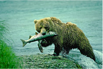this is an example of a heterotroph succession bear salmon alaska