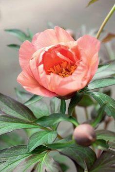 conseils jardinage comment avoir de belles pivoines jardinage pinterest garden. Black Bedroom Furniture Sets. Home Design Ideas