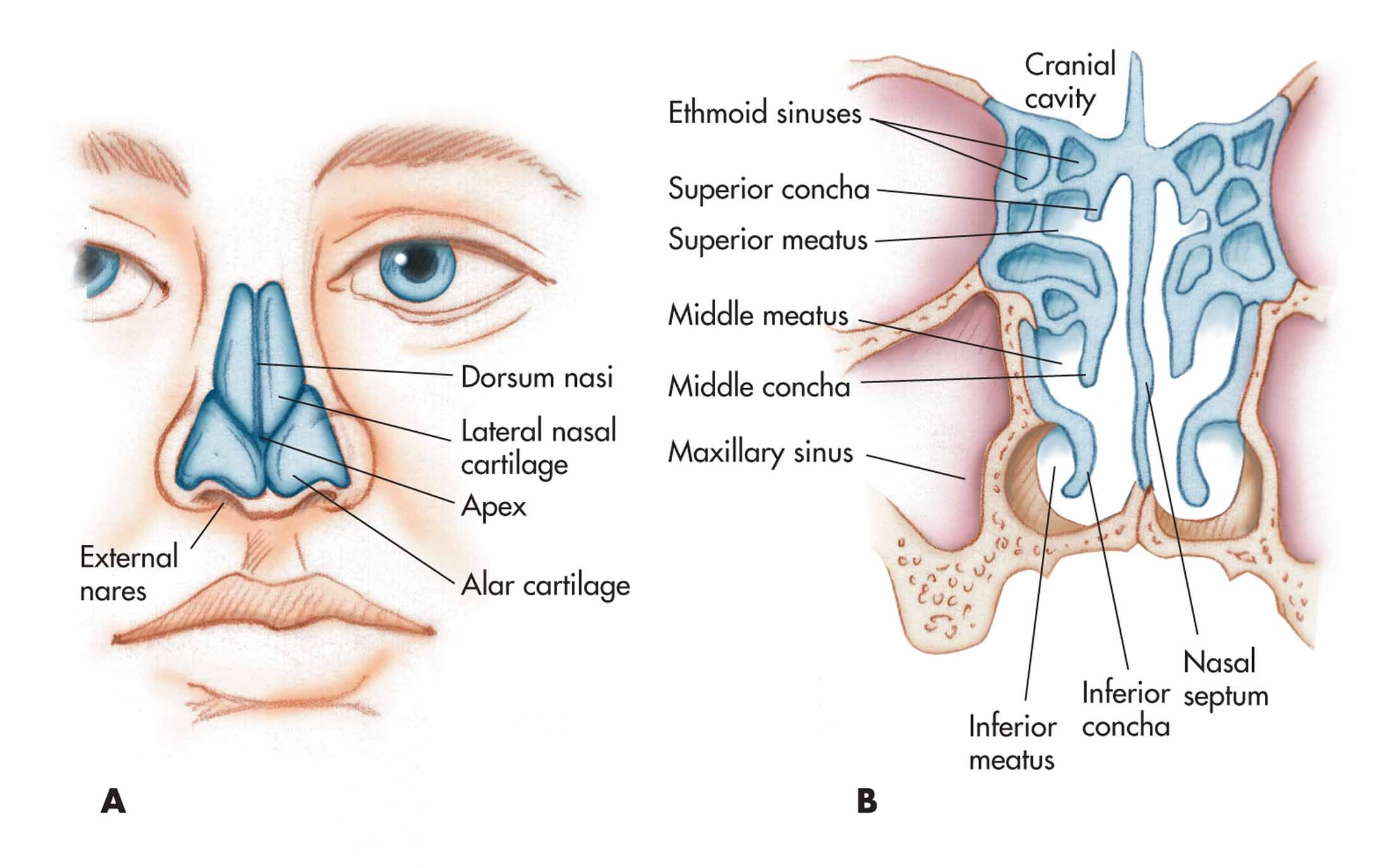 Nose nasal cavity and pharynx a nasal cartilages and external nose nasal cavity and pharynx a nasal cartilages and external structure b meatus and positions of the entrance to the ethmoid and maxillary sinuses pooptronica Images