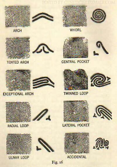 Fingerprint Patterns Fingerprint Pattern Forensic Science Awesome Fingerprint Patterns