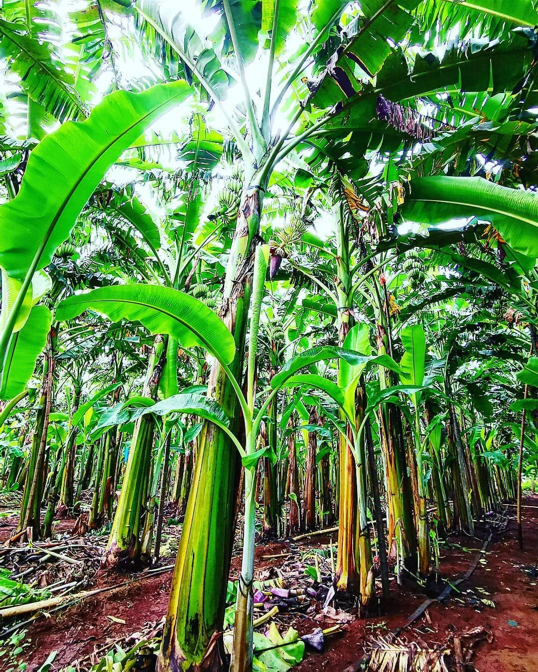 What Are The Best Fertilizers For Banana Trees