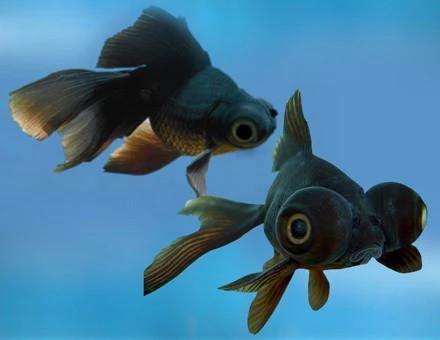 Goldfish Black Telescope In 2020 Aquarium Fish Aquarium Fish For Sale Black Goldfish