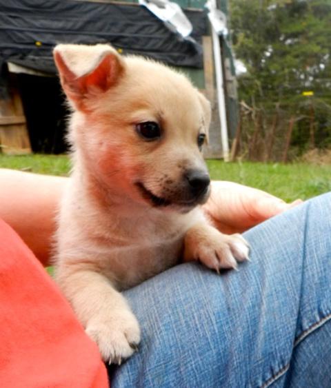 Adopt Milton Puppy On Pomeranian Mix Puppies Shetland Sheepdog