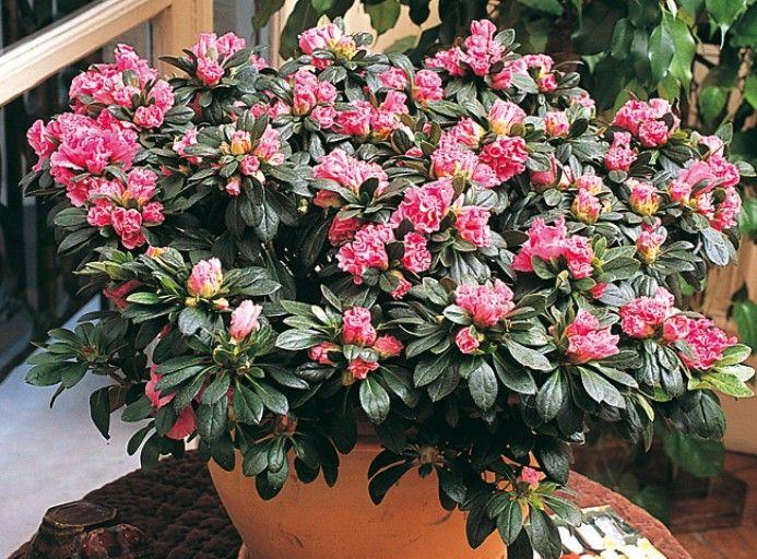 Cultiver L Azalee Des Fleuristes Rhododendron Indicum Azalee