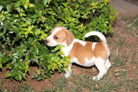 Beagle X Jack Russel Jackabee Puppies Jack Russell Cute