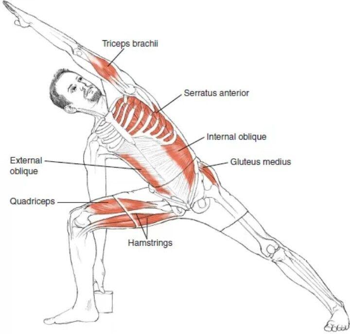 Utthita Parsvakonasana | ANATOMIA | Pinterest | Yoga, Anatomía y ...