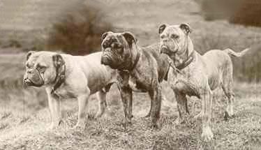 Mollett Victorian Bulldog Google Search Victorian Bulldog