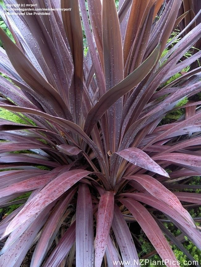 Full Size Picture Of Cabbage Palm Tree Ti Kouka Torbay Dracaena Spike Purple Tower Cordyline Australis