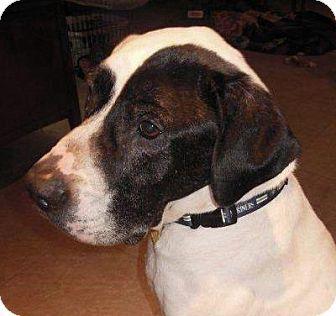 Issaquah Wa Great Dane Mix Meet Mike A Dog For Adoption