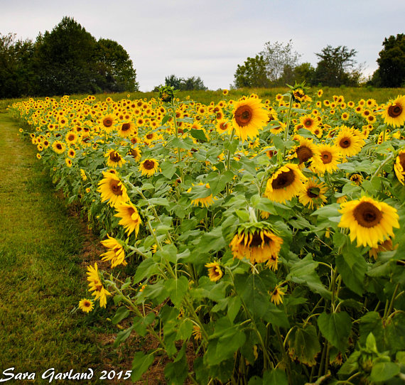 Sunflowers Nature Photography Landscape Photography Color Photography Photography Flowers Art Wall Art Print 8x10 Home Decor With Images Nature Photography Flowers Nature Photography Landscape Photography