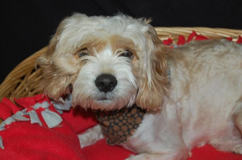 Adopt Teddy on | Cockapoos | Cockapoo dog, Cockapoo, Dogs