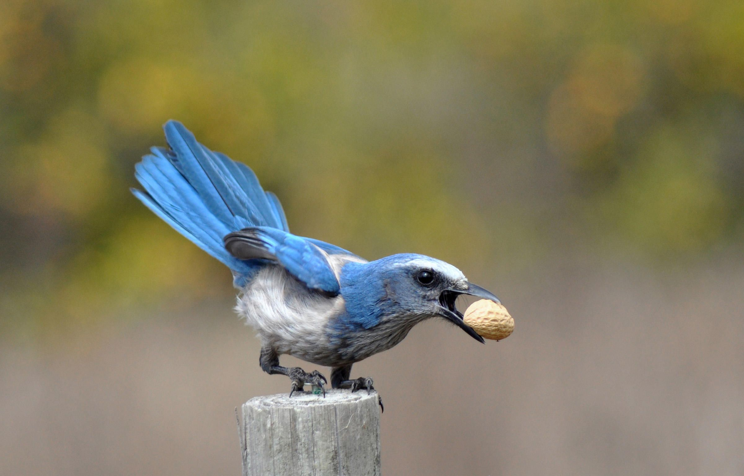 Florida Scrub-Jay   Great backyard bird count, Animals ...