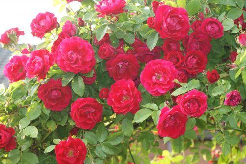 Rosa Flammentanz