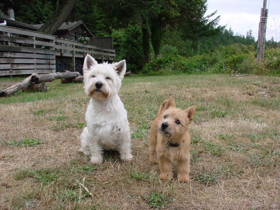 Norwich Terrier Dog Breed Information Dogs In Spring