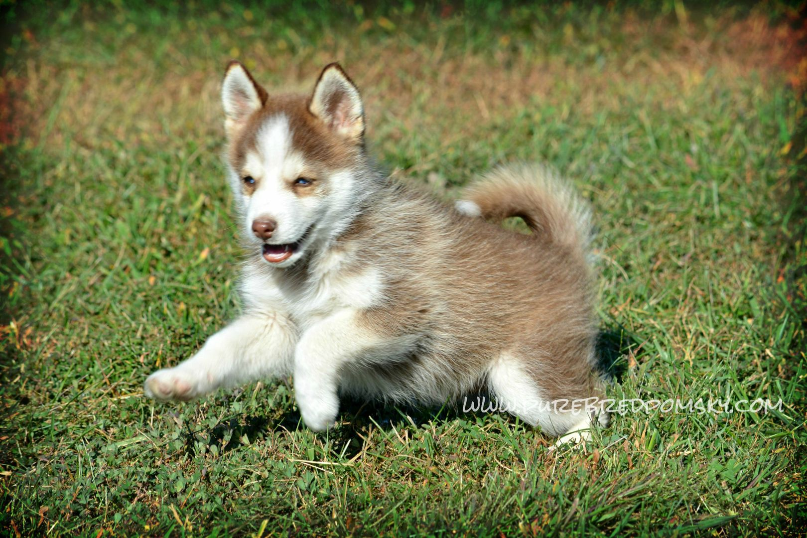 Red And White Pomsky Playing During The Summer Months Pomsky