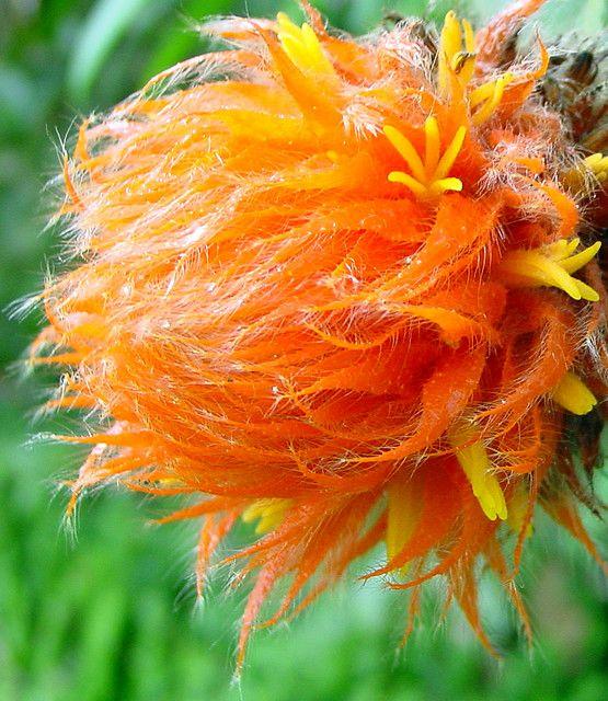 Exotic Flower From Myanmar Burma It Look Like A Truffula Tree The Lorax