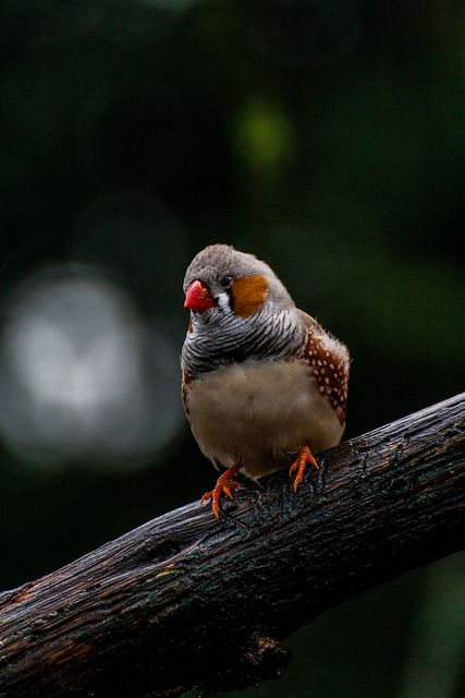 Zebra Finch (Taeniopygia guttata), formerly Poephila guttata - the most common estrildid finch of Central Australia and ranges over most of the continent, avoiding only the cool moist south and some areas of the tropical far north. It can also be found natively in Indonesia and East Timor. The bird has been introduced to Puerto Rico, Portugal, Brazil and the United States.