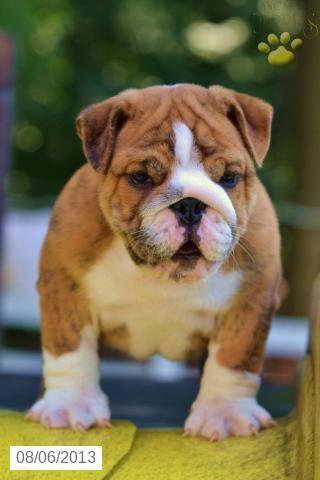 Frank English Bulldog Puppy For Sale In Applecreek Oh English Bulldog Puppy For Sale English Bulldog English Bulldog Puppies Bulldog