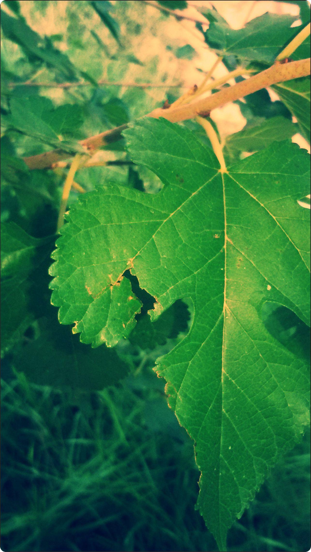 ورق شجرة التوت Plant Leaves Plants Leaves