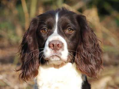 Welsh Springer Spaniel - Price, Temperament, Life span ...