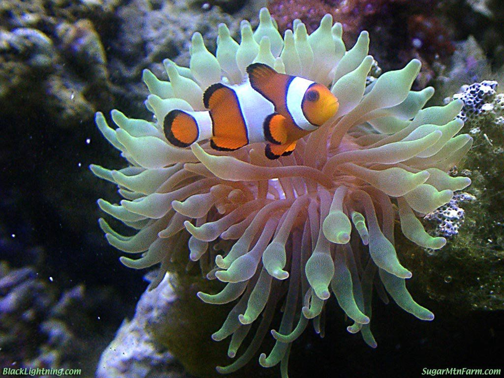 Green bubbletip anemone sea items for kitchen floor for Buy clown fish