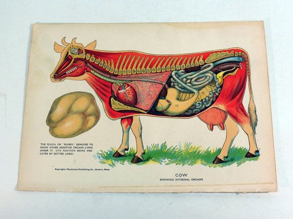 Cow Anatomy Diagram Showing Internal Organs 1905 Book Plate ...