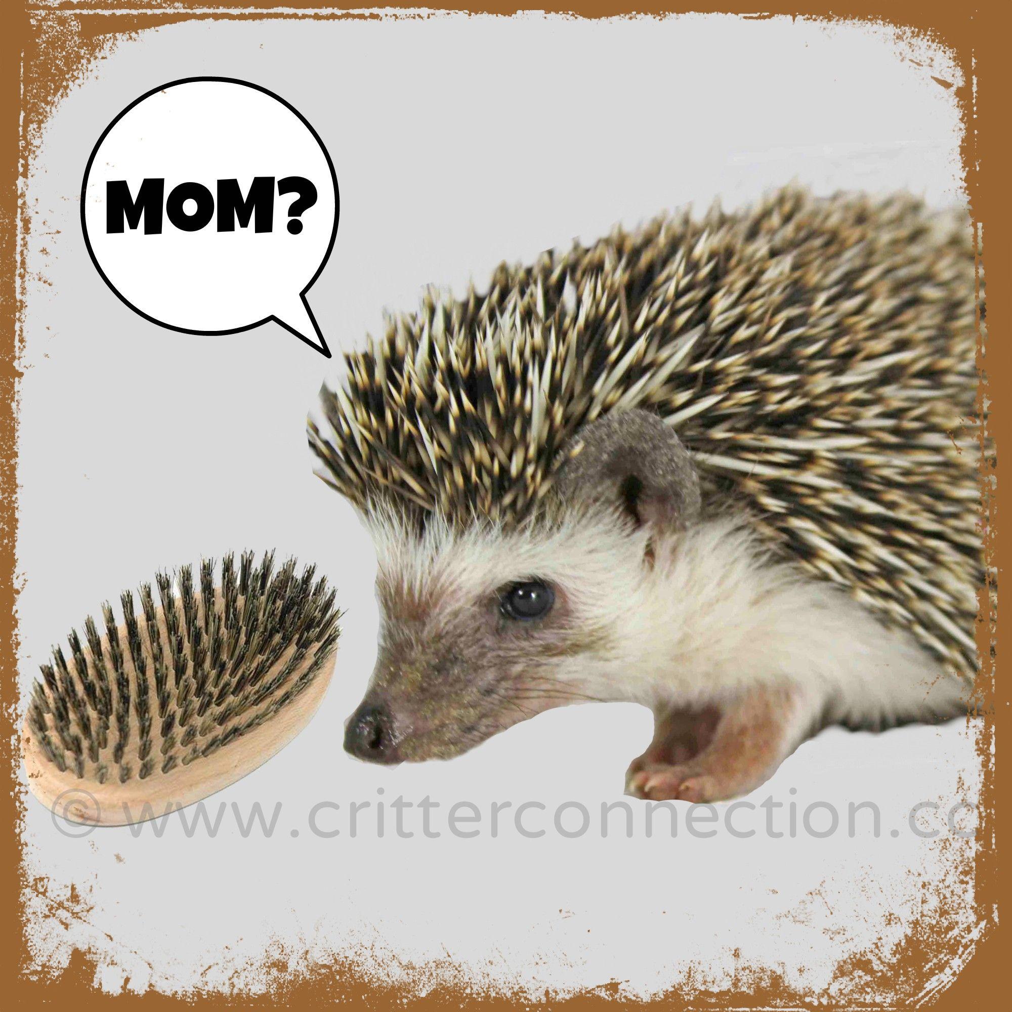 7655ed1bb hedgehog #hedgie #funny #lol #quills #brush #cute #adorable #mom ...