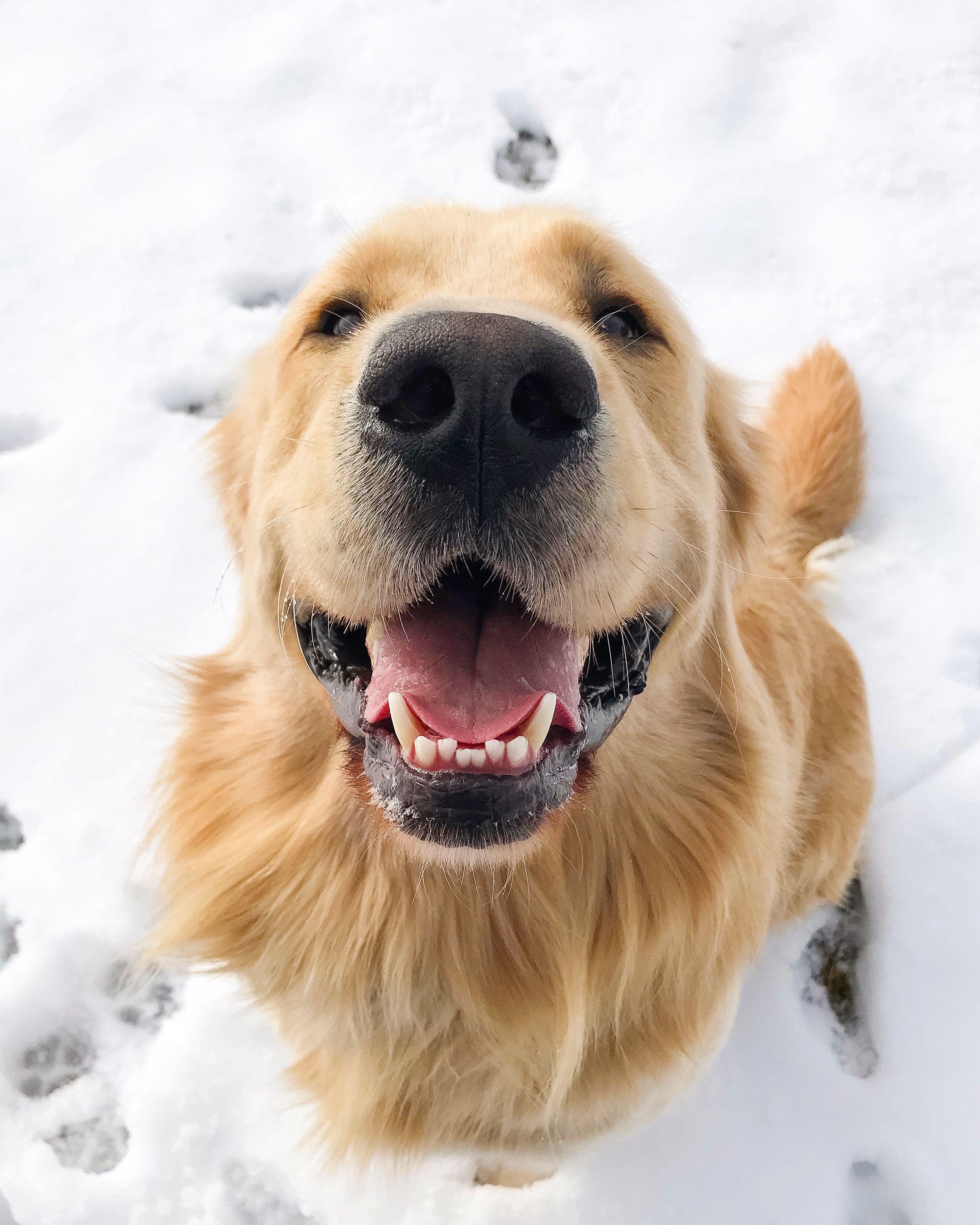 Golden Retriever Joyful Jax With His Happy And Handsome Smile