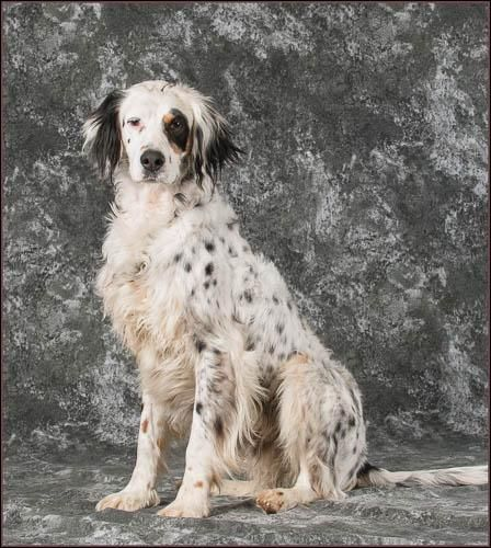 Adopt Duke On Petfinder English Setter Dogs Animal Welfare