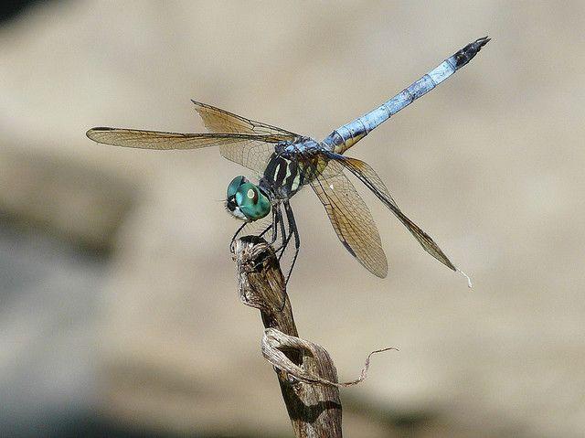 Blue Dasher (Dragonfly)