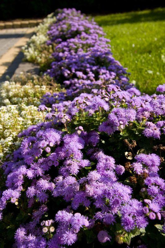 Floss Flower Villa Neve Flowers Kwiaty Lilac Gardening Flowers Plants