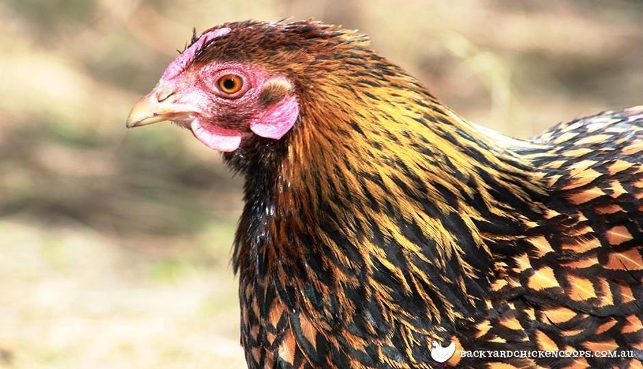 Top 20 Chicken Breeds for Your Backyard Coop in 2020 ...