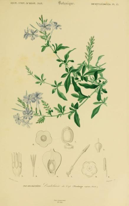 PLUMBAGO---Atlas: v. 3, Ed. 2 - Zoologie, Botanique, Astronomie & Meteorologie - Dictionnaire universel d'histoire naturelle résumant et complétant tous les faits présentés par les encyclopédies,... / - Biodiversity Heritage Library