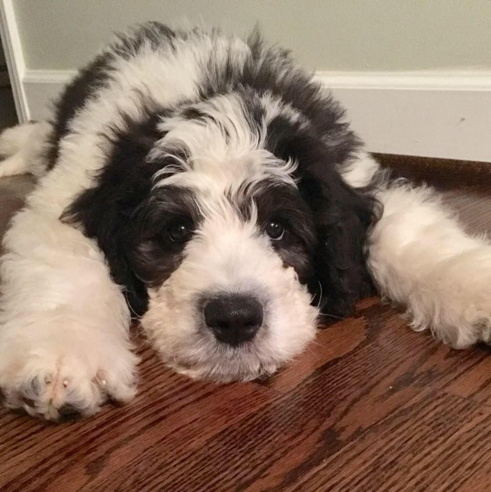How Much Is A St Berdoodle