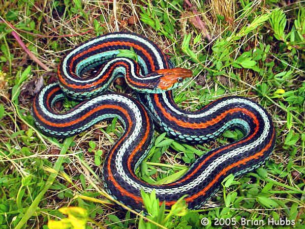 Snakes Found In Washington State Your Snake T Sirtalis Fitchi