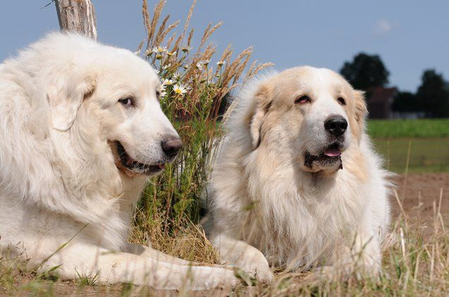 Great Pyrenees Great Pyrenees Mountain Dogs Dog Breeds
