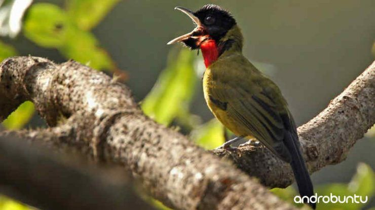 Download Suara Burung Samyong Gacor Untuk Masteran Burung Habitat