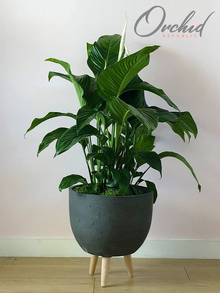 Peace Lily Chic Indoor Plants Pinterest Peace Lily Plants And