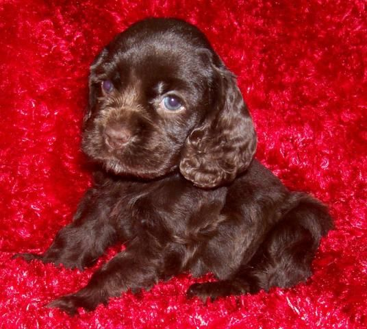 Akc Chocolate Cocker Spaniel Puppies Females We Ship Cocker Spaniel Puppies Chocolate Cocker Spaniel Spaniel Puppies