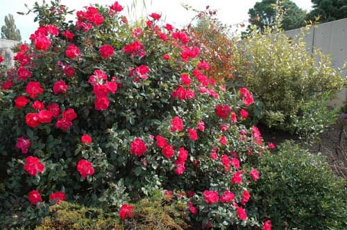 Red knock out rose - perform best when planted in full sun.  The soil should be well drained and fertile. Plant the roses 4 feet apart to allow for room to grow and good air circulation.  To keep the flowers coming feed your roses with a fertilizer blended especially for roses.  This should be done after each bloom cycle.  There is no need to remove faded flowers because these roses are self cleaning