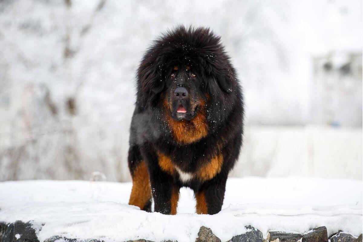 5 Dog Breeds That Look Like Polar Bear Dog Breeds Polar Bear