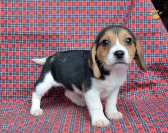 June - Beagle Puppy for Sale in Netherlands