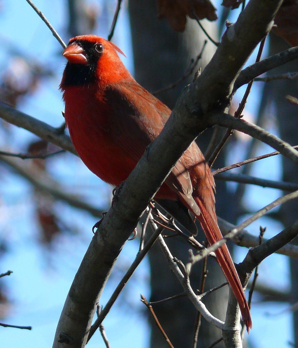 list of birds of north carolina wikipedia the free encyclopedia