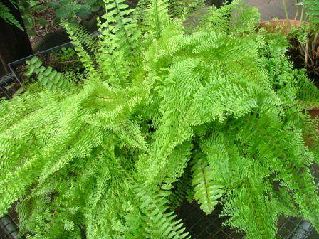 Plantas de interior: el Helecho