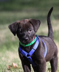 Candace is an adoptable Black Labrador Retriever Dog in Alpharetta, GA. Hey there! My name is Candace. I am a rowdy, rambunctious, fun loving sweet heart! I am 8 weeks old and a black lab mix with a r...