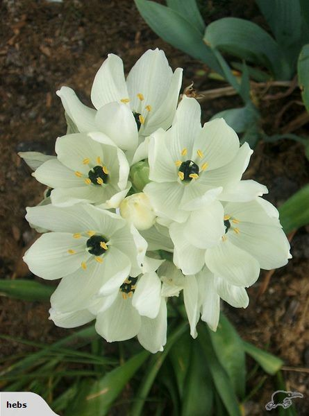 Ornithogalum arabicum black eyed susan arabs eye these easy to grow ornithogalum arabicum black eyed susan arabs eye these easy to grow bulbs are grown for their clusters of 8 to 15 scented white flowers which appear on mightylinksfo