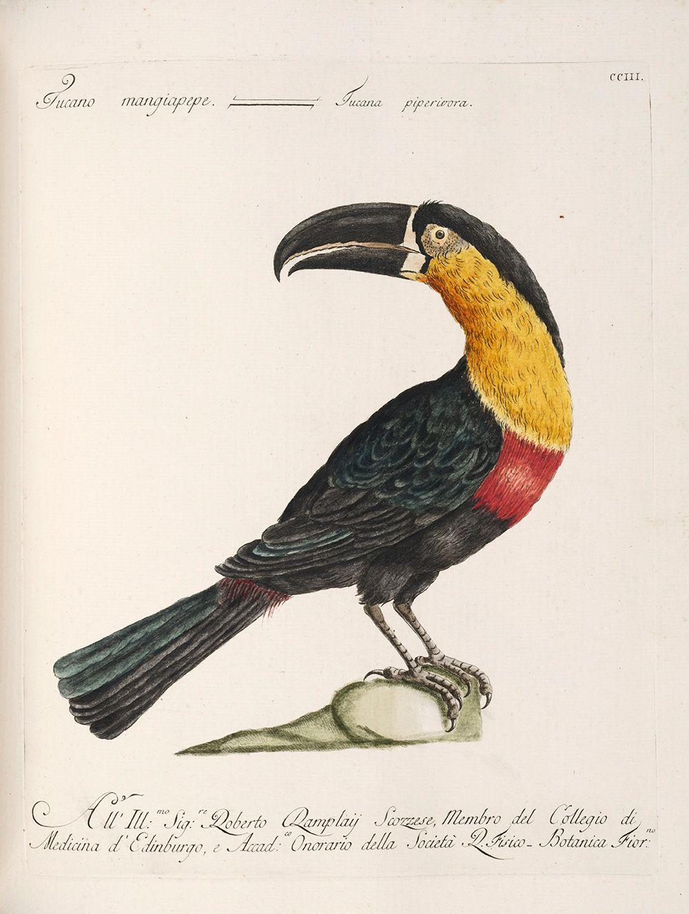 """Mangiapepe Toucan,"" by Saverio Manetti (1767-1776)"